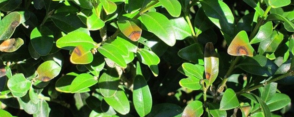 Boxwood blight found in Indiana
