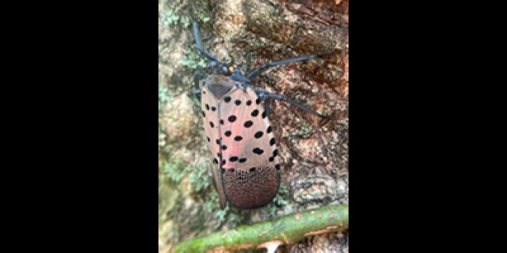 Invasive Update: SPOTTED LANTERNFLY FOUND IN INDIANA