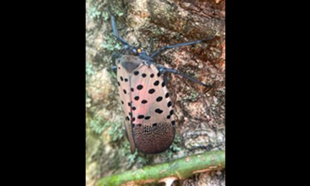 Spotted Lanternfly found in Indiana
