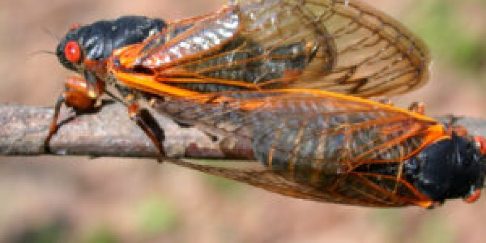 17-year Cicadas are coming: Are you ready?